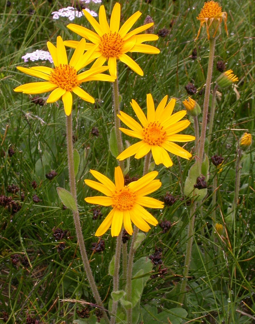 Arnica Montana – All you need to know – Science-based Homeopathy